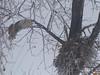 Great Horned Owl (Bubo virginianus) female returning to nest, Sterling ND