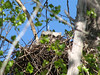 Great Horned Owl (Bubo virginianus) nest with 2 chicks, Sterling ND