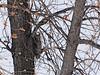 Great Horned Owl (Bubo virginianus) Sterling ND
