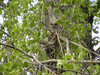 Great Horned Owl (Bubo virginianus) fledgeling, Long Lake NWR
