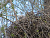 Great Horned Owl (Bubo virginianus) female and one chick on nest, Sterling ND