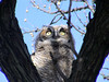Great Horned Owl (Bubo virginianus) chick, Long Lake NWR ND