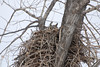 Great Horned Owl (Bubo virginianus) female brooding on nest, Sterling ND