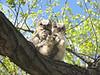 Great Horned Owl (Bubo virginianus) fledgelings, McKenzie Slough, ND