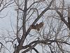 Great Horned Owl (Bubo virginianus) near McKenzie Slough, ND