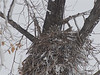 Great Horned Owl (Bubo virginianus) on nest in snowstorm, Sterling ND