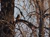 Great Horned Owl (Bubo virginianus) Ster;omg ND