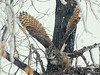 Great Horned Owl (Bubo virginianus) female leaving nest, Sterling ND