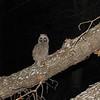 Long-eared Owl (Asio otus) chick, Mandan ND