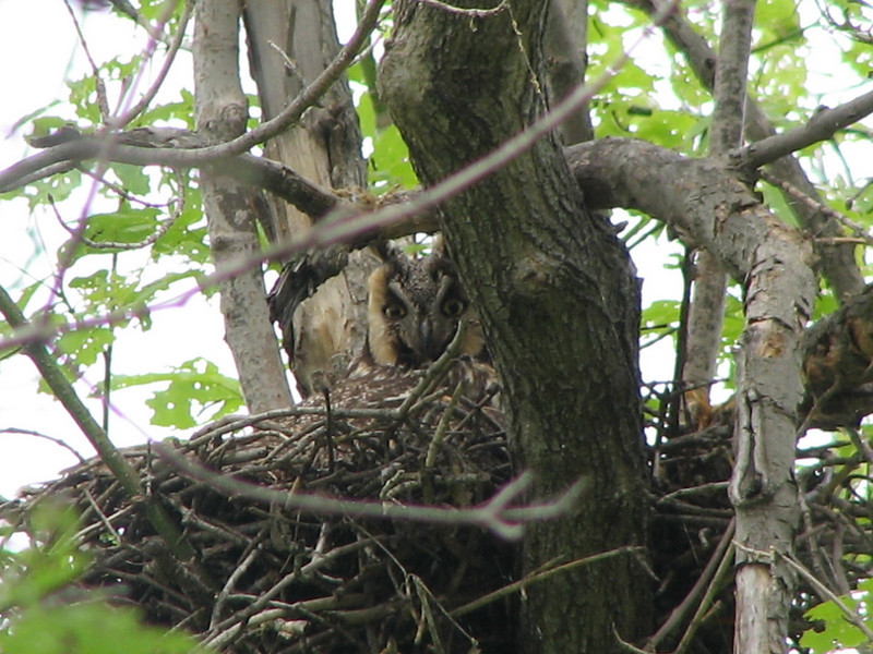 Long-eared Owl (Asio otus) female on nest, Mandan ND