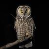 Long-eared Owl (Asio otus) Mandan ND