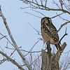 Northern Hawk Owl (Surnia ulula) sax-Zim bog, MN