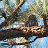 Mountain Pygmy Owl (Glaucidium gnoma californicum) Sawmill Canyon, Fort Huachuca AZ
