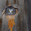 Northern Saw-Whet Owl (Aegolius acadicus) young in nest box, Ashern, Manitoba, Canada