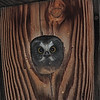 Northern Saw-Whet Owl (Aegolius acadicus) young about to leave nest box, Sante Fe, NM