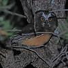 Northern Saw-whet Owl (Aegolius acadicus) chick, Sante Fe NM