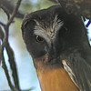 Northern Saw-Whet Owl (Aegolius acadicus) fledgling, Sante Fe, NM