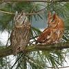 Eastern Screech Owls (Megascops asio)
