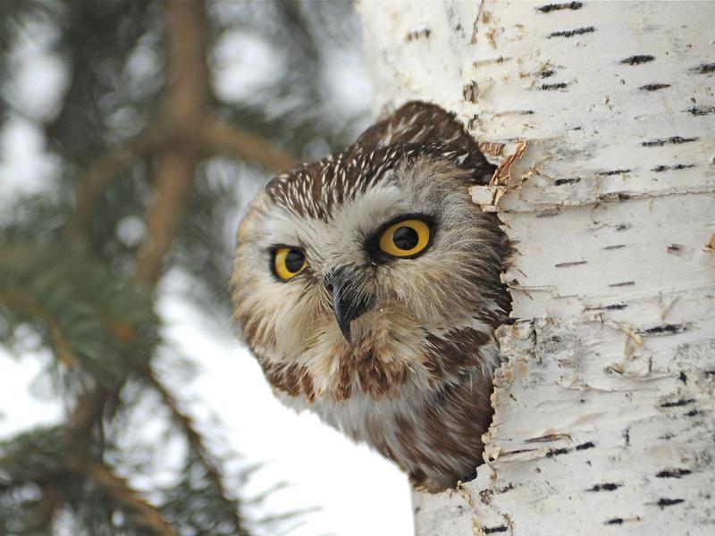 Saw-Whet Owl (Aegolius acadicus)