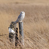 Snowy Owl (Bubo Scandiaca) Long Lake NWR, ND