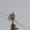 Snowy Owl (Bubo Scandiaca) Mandan, ND