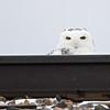 Snowy Owl (Bubo scandiaca) Glacier Ridge NWR, Crookston MN