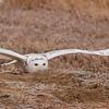 Snowy Owl (Bubo scandiaca) Long Lake NWR, ND