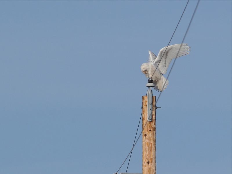 Snowy Owl (Bubo Scandiaca) Mandan ND