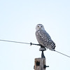 Snowy Owl (Bubo scandiaca) looking over left shoulder, Dawson ND