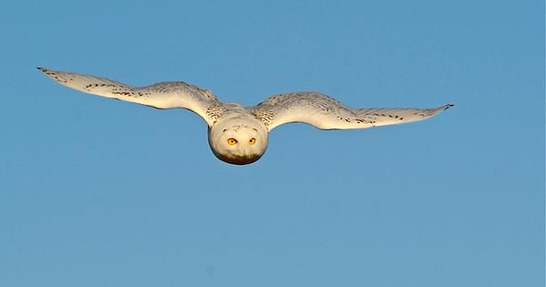 Snowy Owl (Bubo scandiaca)