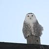 Snowy Owl (Bubo scandiaca) Dawson ND