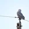 Snowy Owl (Bubo scandiaca) looking over right shoulder, Dawson ND