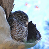 Spotted Owl (Strix occidentalis) Fort Huachuca, AZ