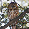 Spotted Owl (Strix occidentalis) Scheelite Canyon, Fort Huachuca AZ
