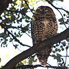 Spotted Owl (Strix occidentalis) Scheelite Canyon, Fort Huachuca, AZ