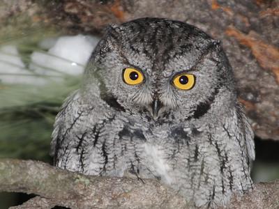 Western Screech Owl (Megascops kennicotti)