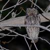 Western Screech-Owl (Otus kennicottii) Ladder Ranch, Hillsboro NM