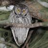 Western Screech-Owl (Megascops kennicottii) Kingston, NM