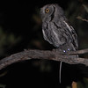 Western Screech-Owl (Otus kennicottii) Carr Canyon, Huachuca Mountains, Sierra Vista NM