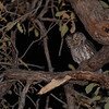 Whiskered Screech Owl (Megascops trichopsis) Carr Canyon, Huachuca Mountains, Sierra Vista AZ