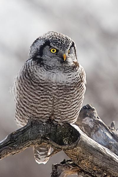 Northern Hawk Owl, Peru, NY