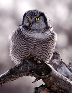 Northern Hawk Owl, Peru, NY