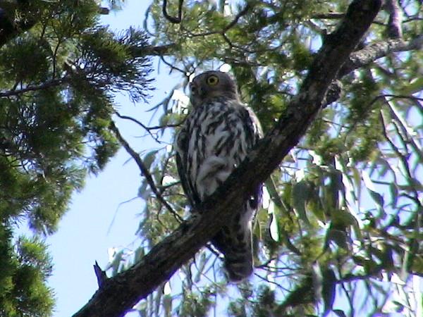Barking Owl, (Ninox connivens) New South Wales, Austrailia