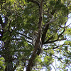 Barking Owl (Ninox connivens) New South Wales, Austrailia