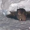 Blakiston's Fish Owl (Bubo blakistoni) Rausu, Hokkaido, Japan