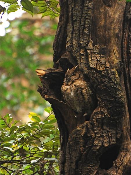 Japanese Scops-Owl (Otus semitorques) Meiji Jingu Shrine, Tokyo, Japan