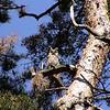 Long-eared Owl, (Asio otus) Penu, Estonia