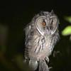 Long-eared Owl (Asio otus) chick, Erguna, Inner Mongolia, China