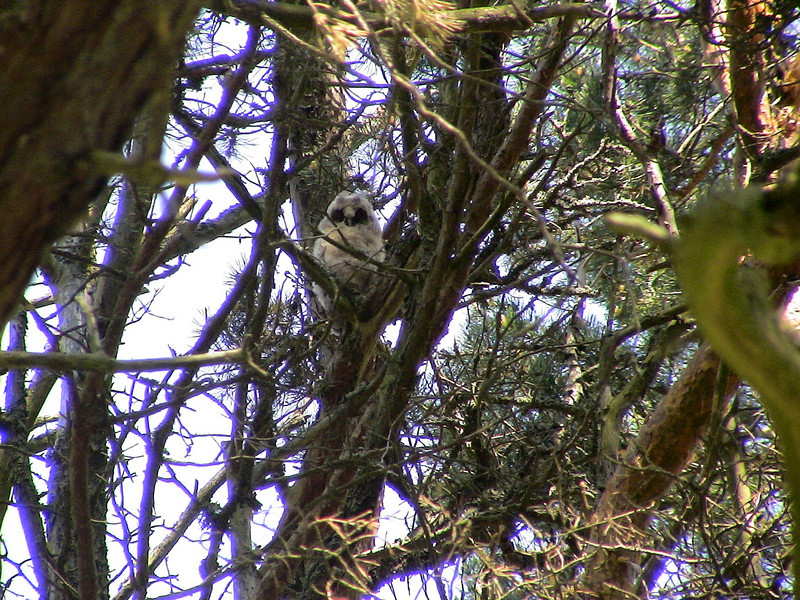 Long-eared Owl chick, (Asio otus) Penu, Estonia