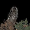 Tawny Owl (Strix aluco) Congenies, Langeduoc, France